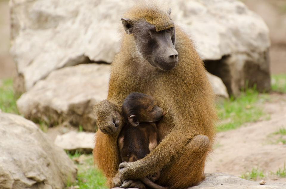 Free young olive baboons sitting on a stone