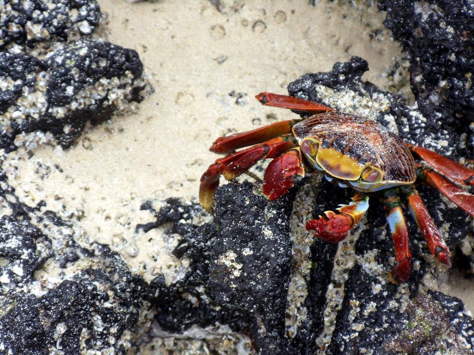 Free mature female Rainbow crab