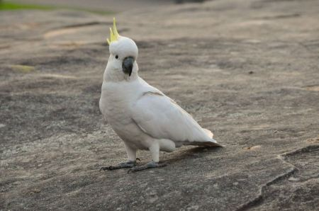 Free Umbrella Crested Cockatoo Perched on a Rock