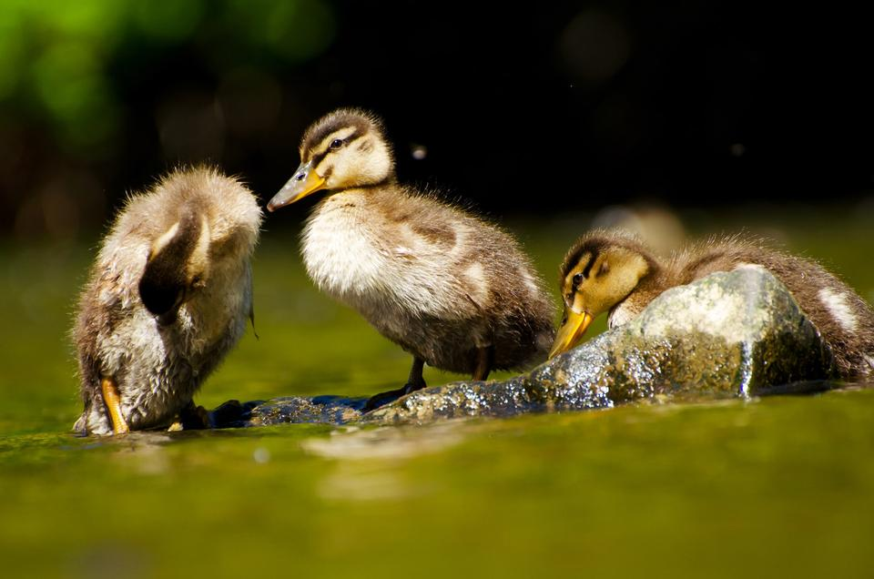 Free Close-up of a Mallard or Wild Duck