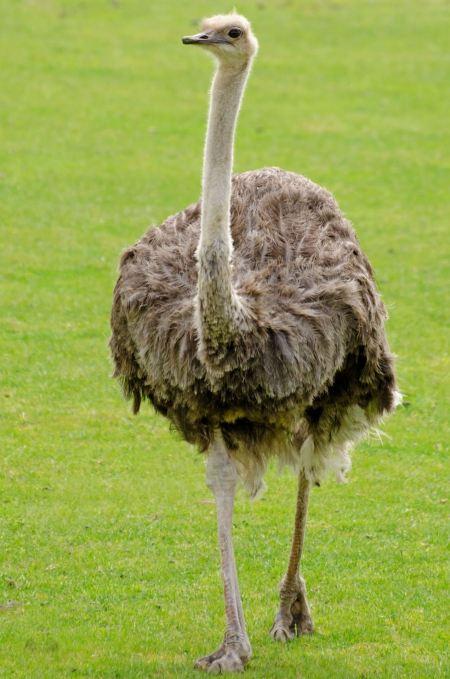 Free Emu walking through a field of green grass