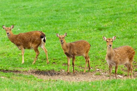 Free three young doe deers standing on a grassy meadow