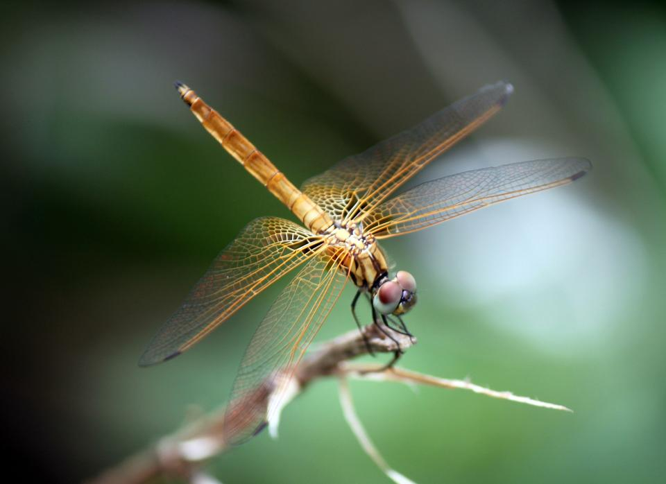 Free Dragonfly with beautiful wing