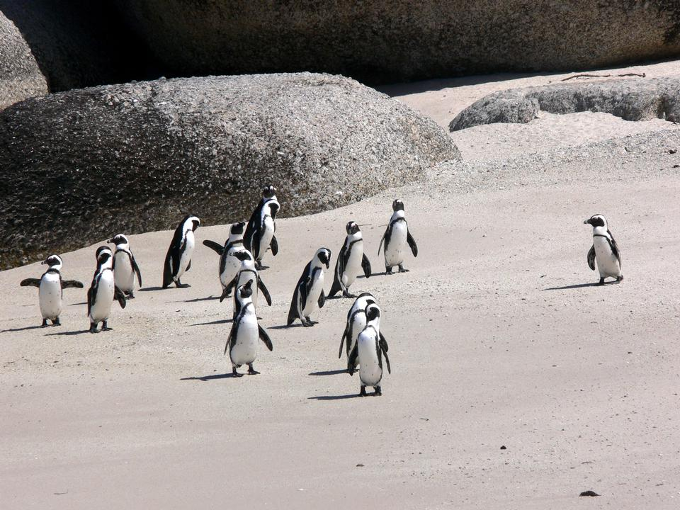 Free Jackass penguins on Boulders Beach