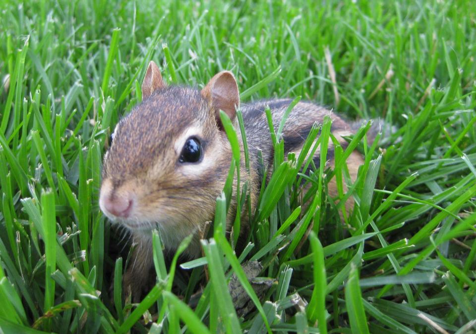 Free Chipmunk in grass