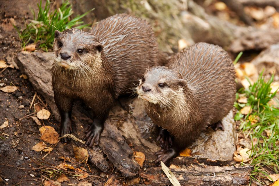 Free European Otters