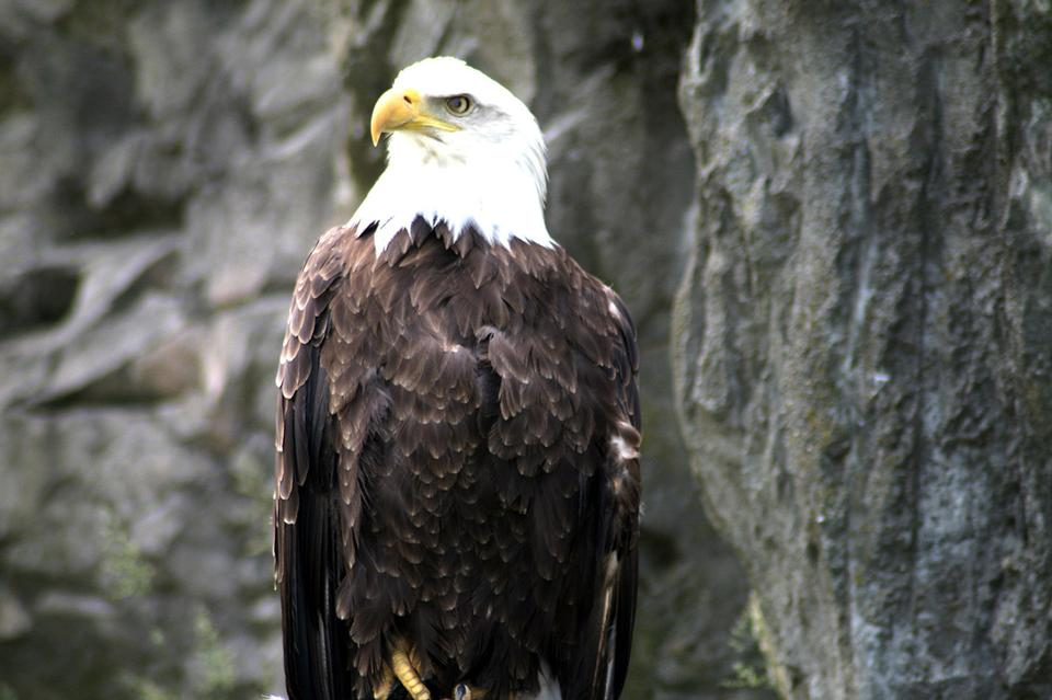 Free American Bald Eagle