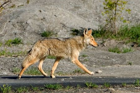 Free Coyote prowling on the farm road