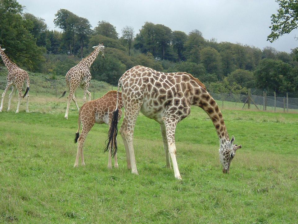 Free Mother and baby giraffe in the wild