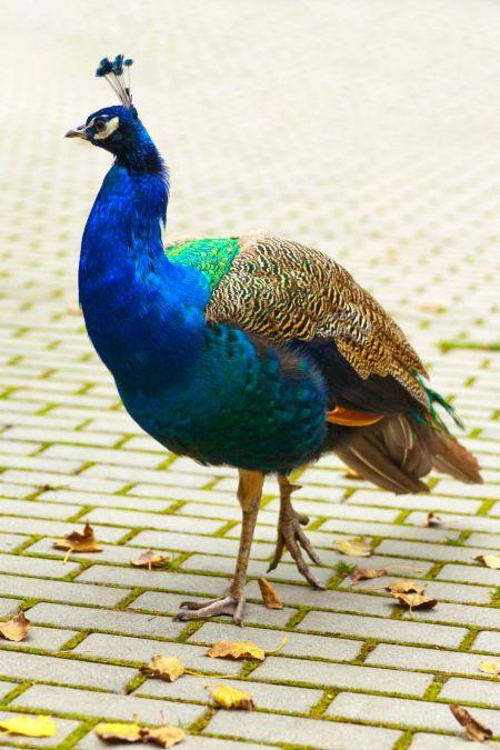 Free A peacock, closeup