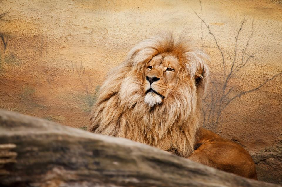 Free Male lion relaxing
