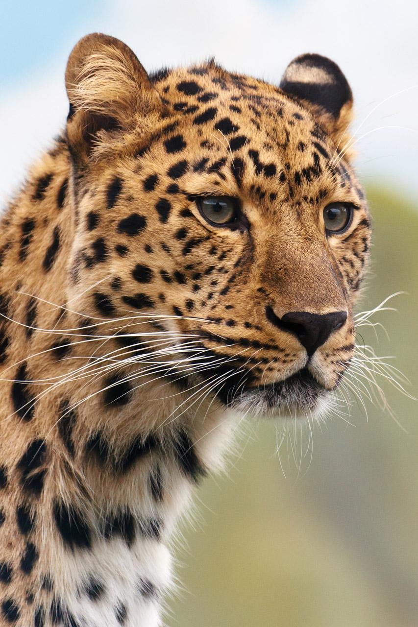 Free Portrait of a leopard