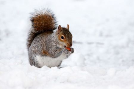 Free Squirrel eating nut on the snow
