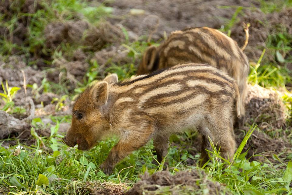 Free Tiny brown wild boar piglets