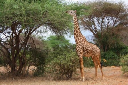 Free Young adult giraffe eating leaves