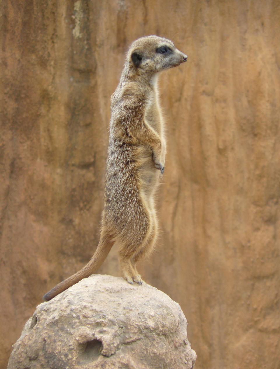 Free meercat at the lookout for predators