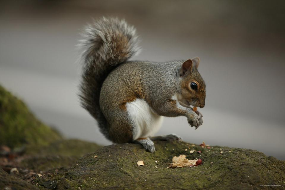 Free squirrel eating a nut