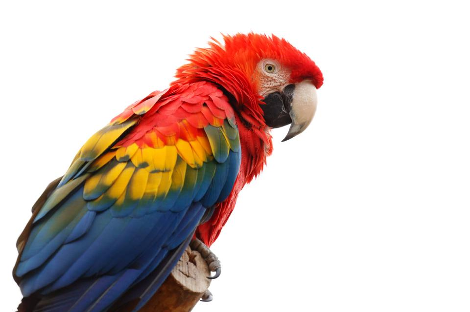 Free Scarlet macaw isolated on white background