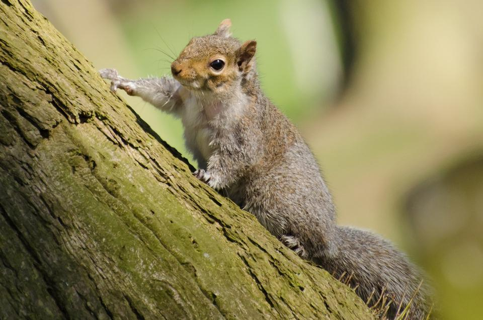 Free Eastern Gray Squirrel