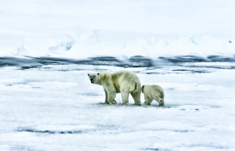 Free Polar Bears Wildlife Animals