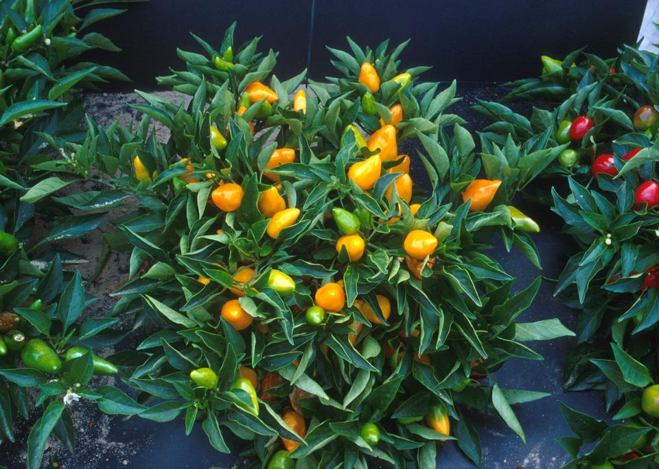 Free Compact Orange Pepper Plants