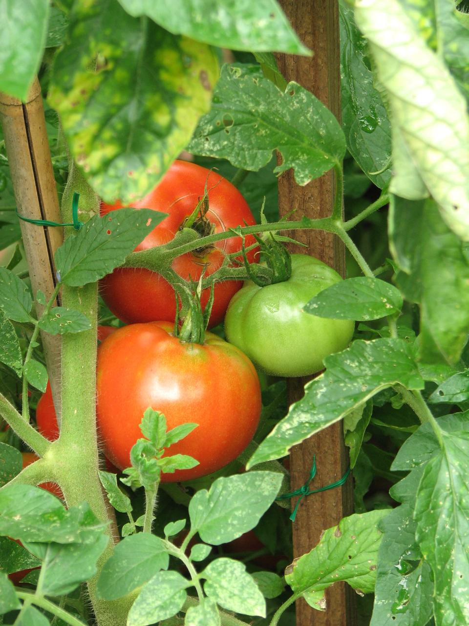Free Green And Red Tomatoes In A Garden