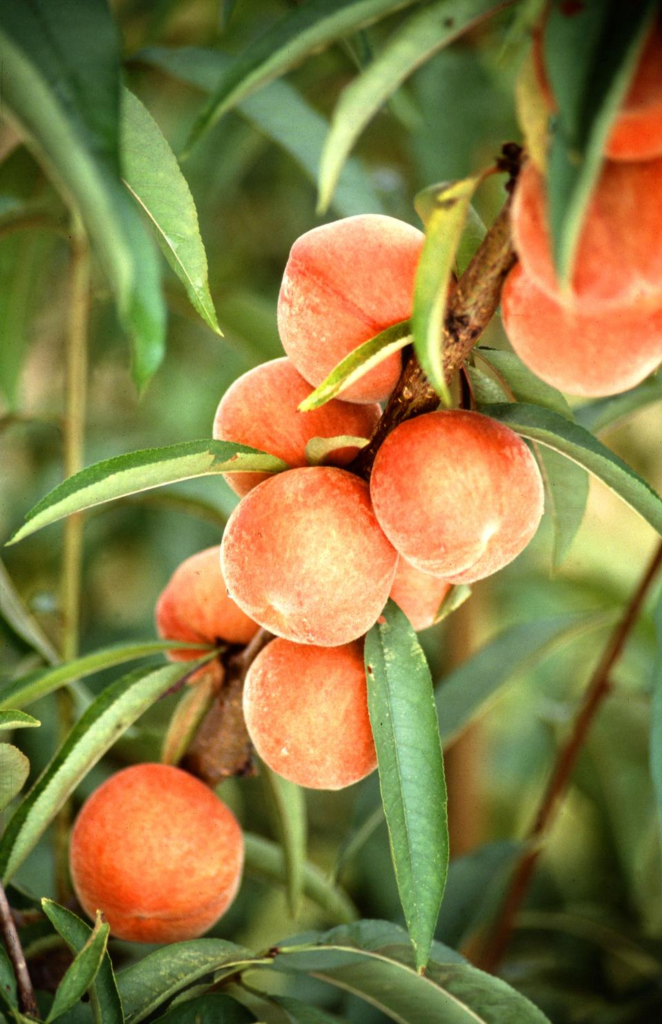 Free Flameprince Peaches Growing On A Tree