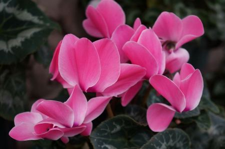 Free Pink cyclamen flowers