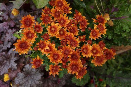 Free chrysanthemum Lisboa