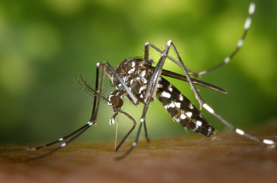 Free Tiger Mosquito