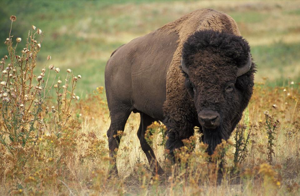 Free American Buffalo Bull scanning the area.