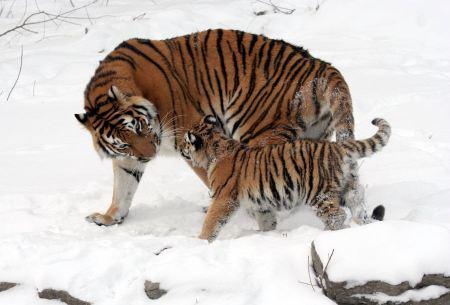 Free Closeup of a Siberian Tiger on snow