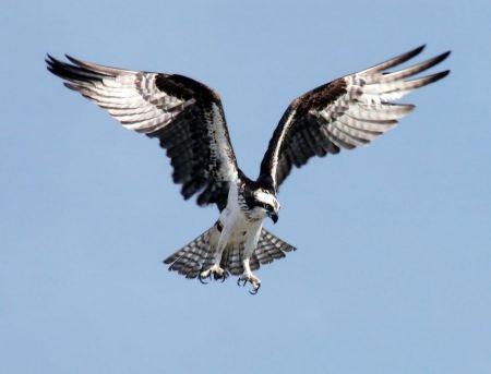 Free An Osprey preparing to dive