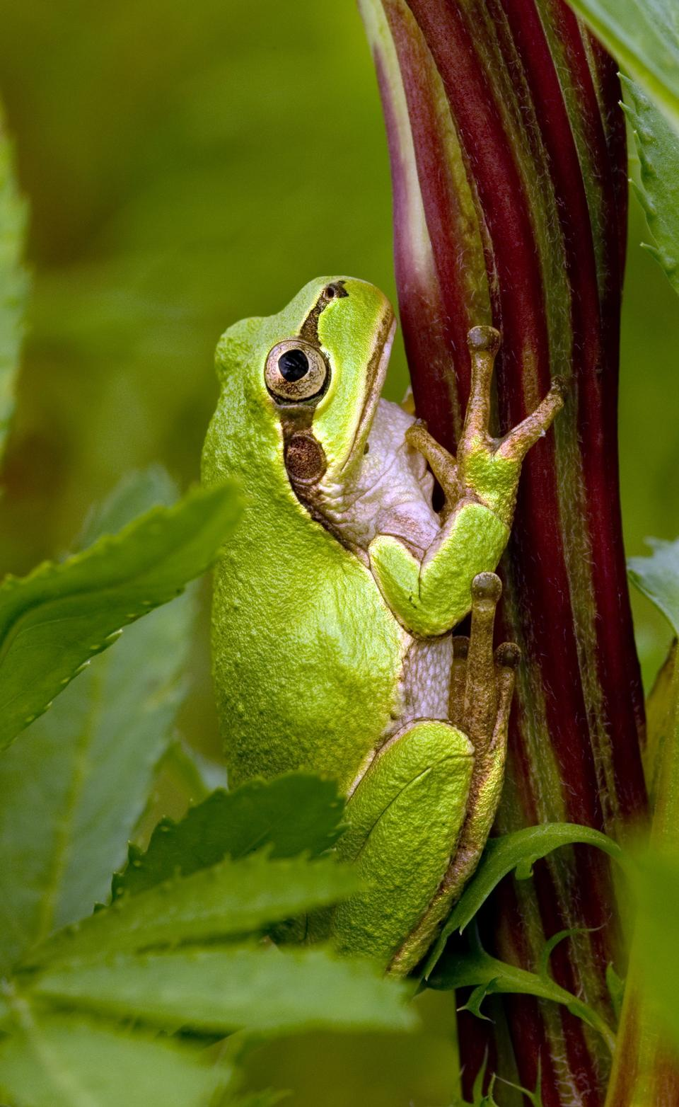 Free tree frog hiding in green background leafs Agalychnis
