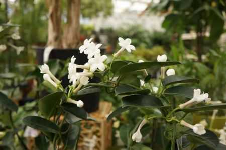 Free Jasmine Stephanotis plant