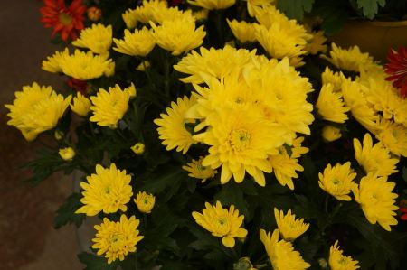 Free Yellow daisy flower