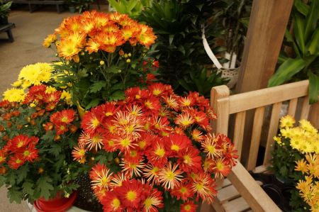 Free Red daisy flower