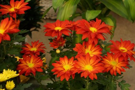 Free Popular Red Daisy Flower