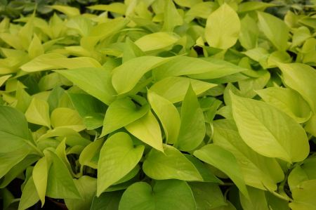 Free Isolated green plant pothos