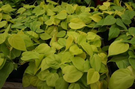 Free Growing Philodendron Houseplants