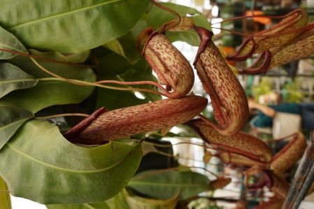 Free Nepenthes ventricosa
