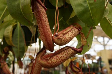 Free Nepenthes ventricosa