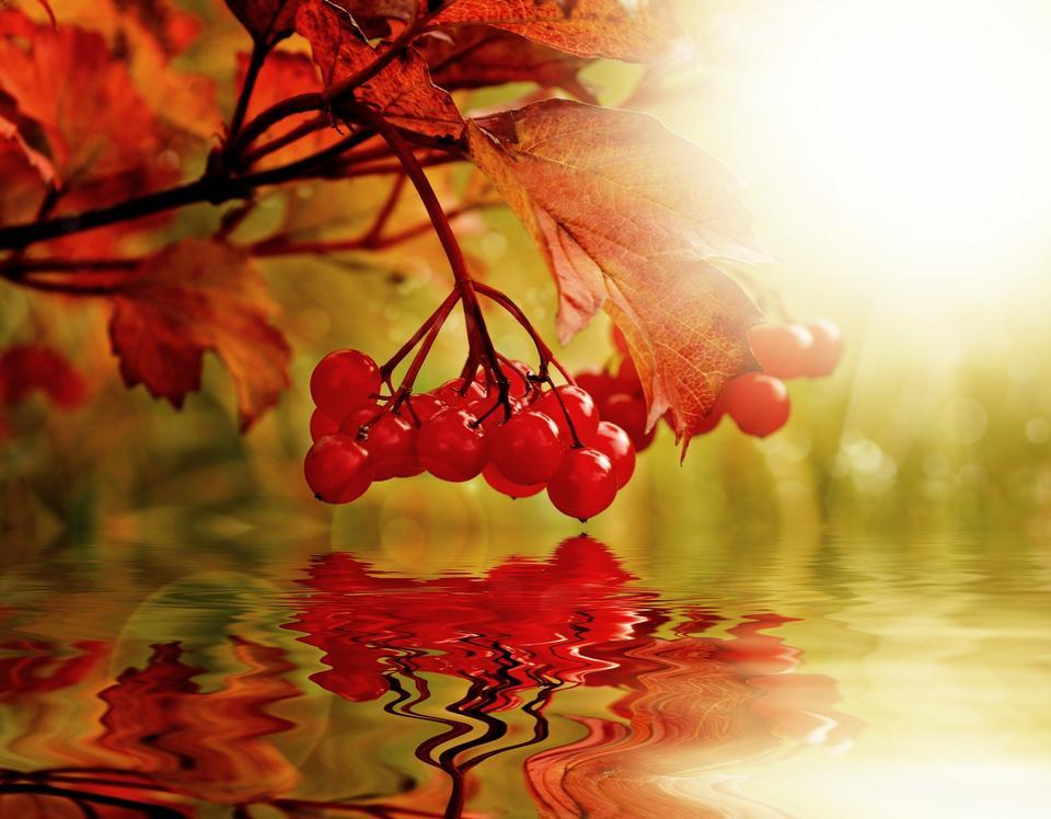 Free Ripe berries of Viburnum, reflection in water