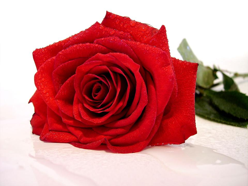 Free red rose with water drop
