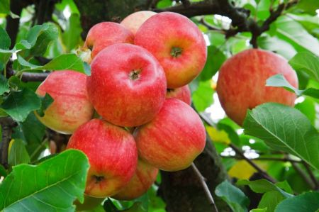 Free Red apples growing on tree