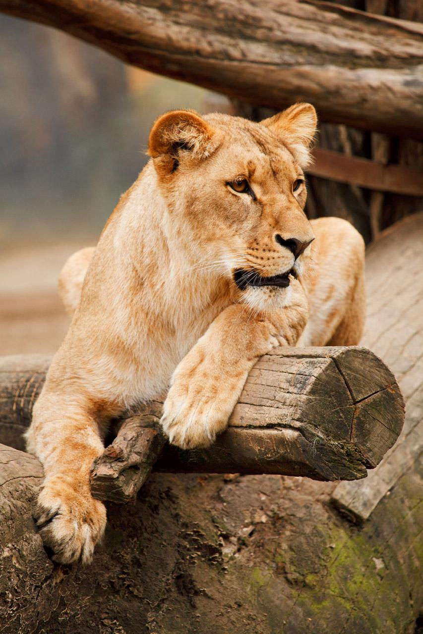 Free Resting lioness on a log