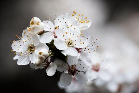 Free blossoming cherry tree