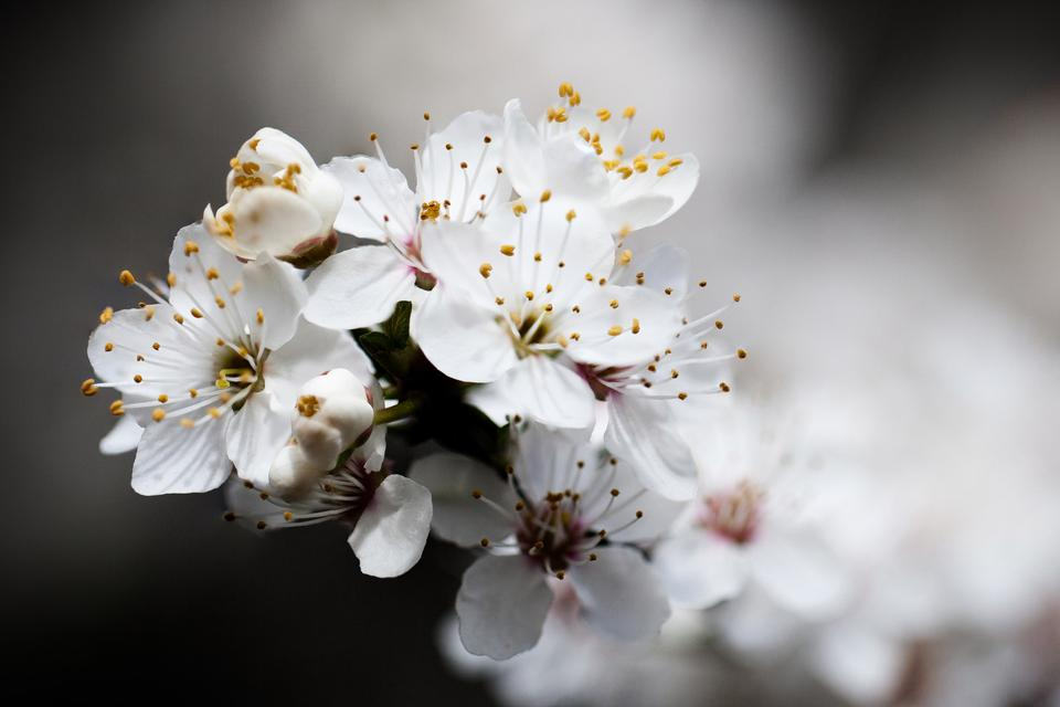 Free blossoming cherry tree