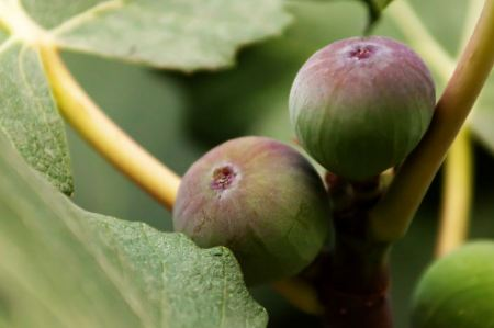 Free Growing figs on the tree