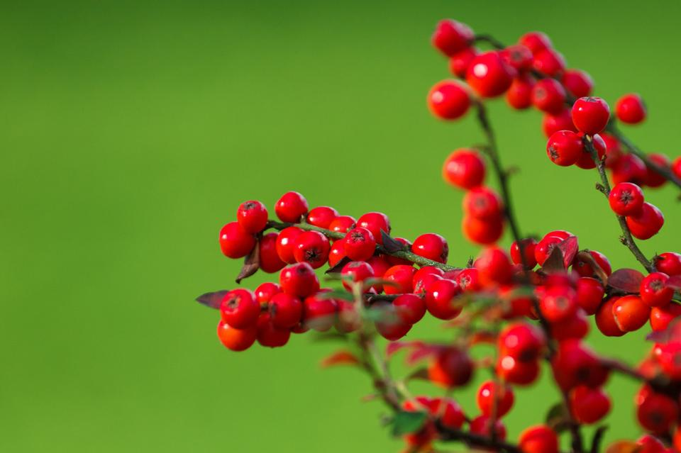 Free Red berries on green background